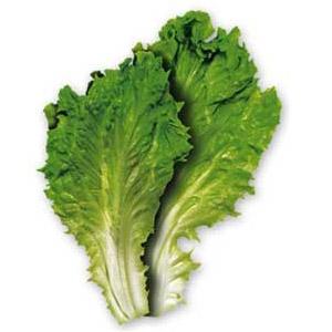 escarole-lettuce